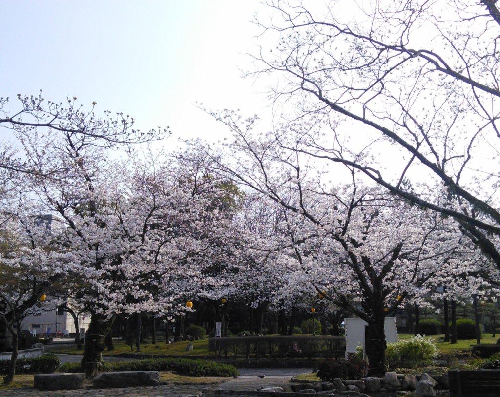 【2018.03.26】事務所近くにある三本松公園の桜